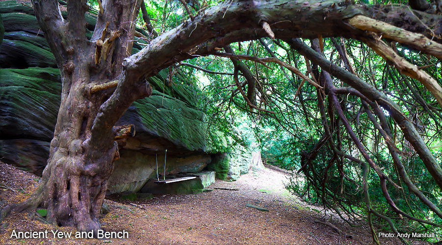 Plumpton Rocks - Ancient Yew and Bench